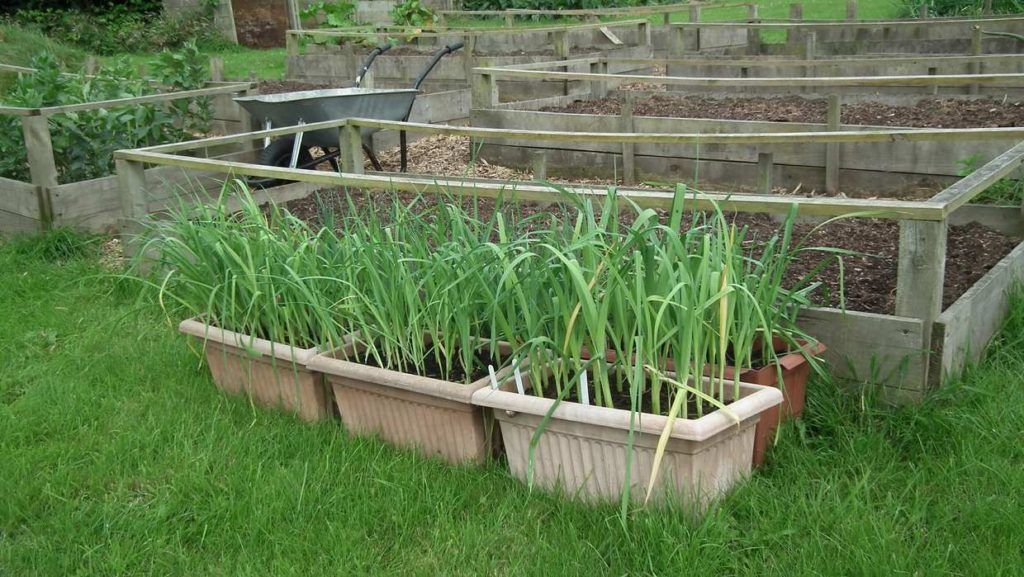 Leeks to Plant Out