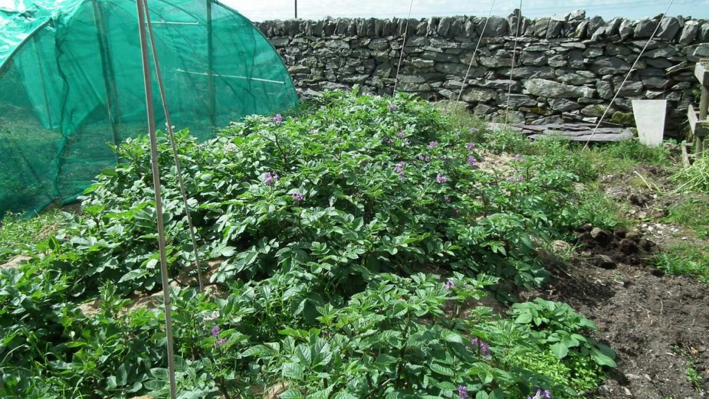 Sarpo Blue Danube Potato Plants