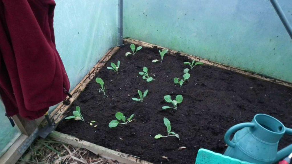 Hispi Cabbages