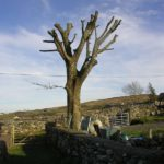 Sycamore Pruned 2011