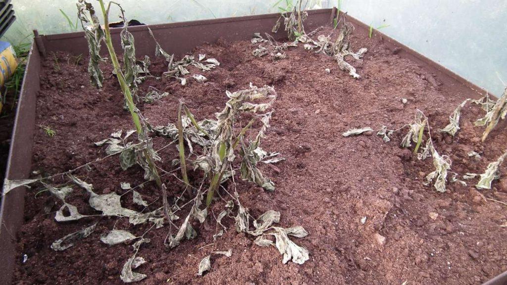 Potatoes Dead in Polytunnel