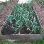 Leeks in Raised Bed