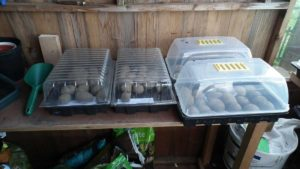 Potatoes Chitting Under Propagator Tops