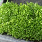 Microgreen Mixed Salad Leaves