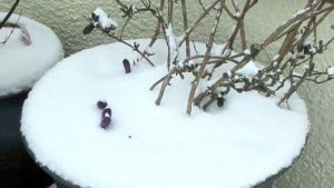 Crocus in Snow Closeup