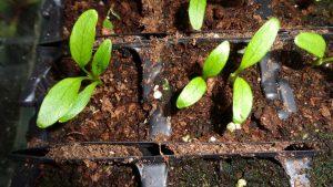 Parsnip Seedlings Closeup