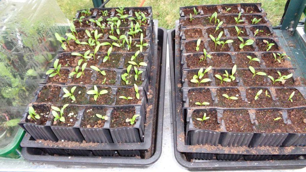 Parsnip Seedlings Rootrainers