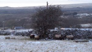 Sheep and Lambs in Snow
