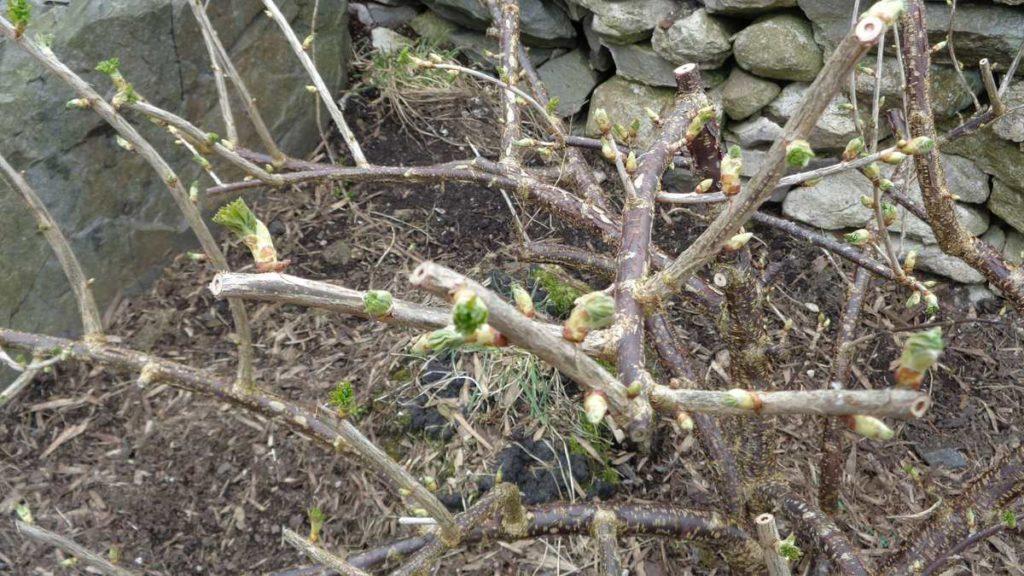Jostaberry Buds