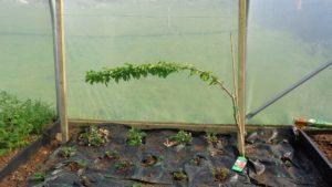 Cherry Tree Polytunnel