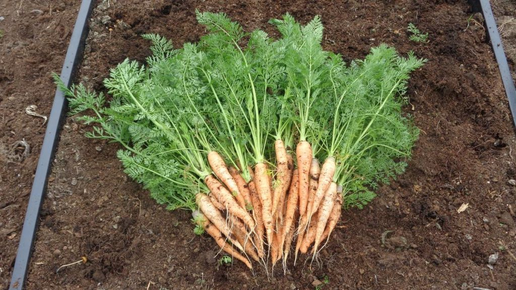 Carrots in Polytunnel