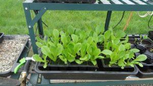 Little Gem Lettuce in Modules
