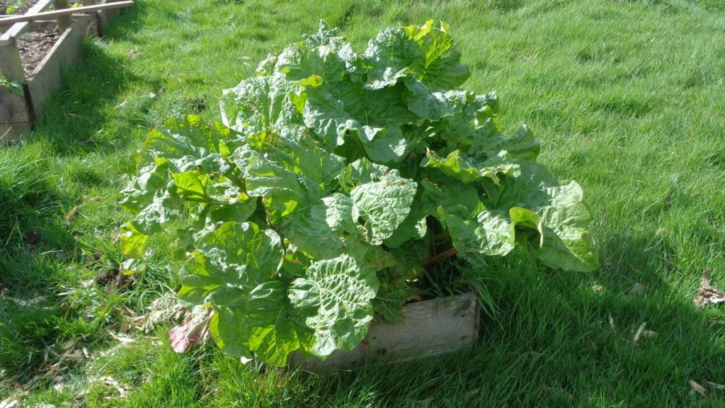 Rhubarb in Small Raised Bed