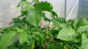 Homeguard Potato Flower