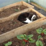 Niblet in Polytunnel