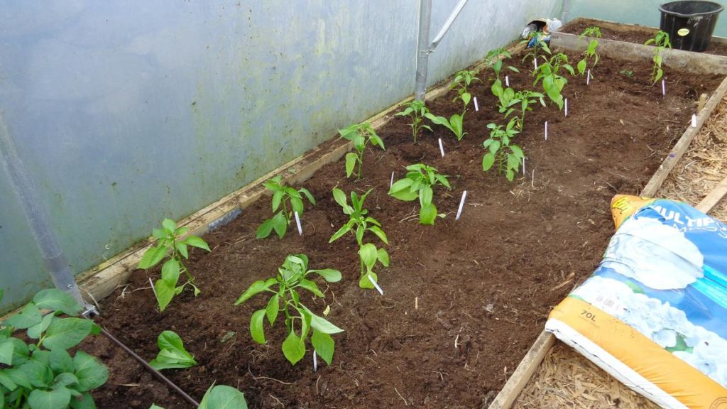 Peppers Lettuce in Polytunnel