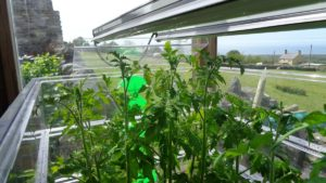 Tomatoes under Grow Lights