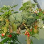 Hanging Basket Strawberries
