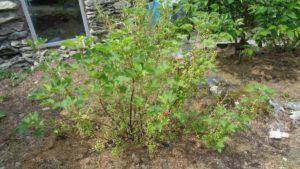 Redcurrant Bush Half Eaten