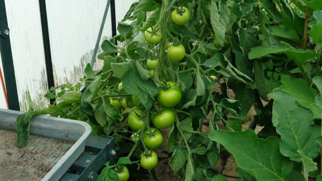 Ailsa Craig Tomatoes
