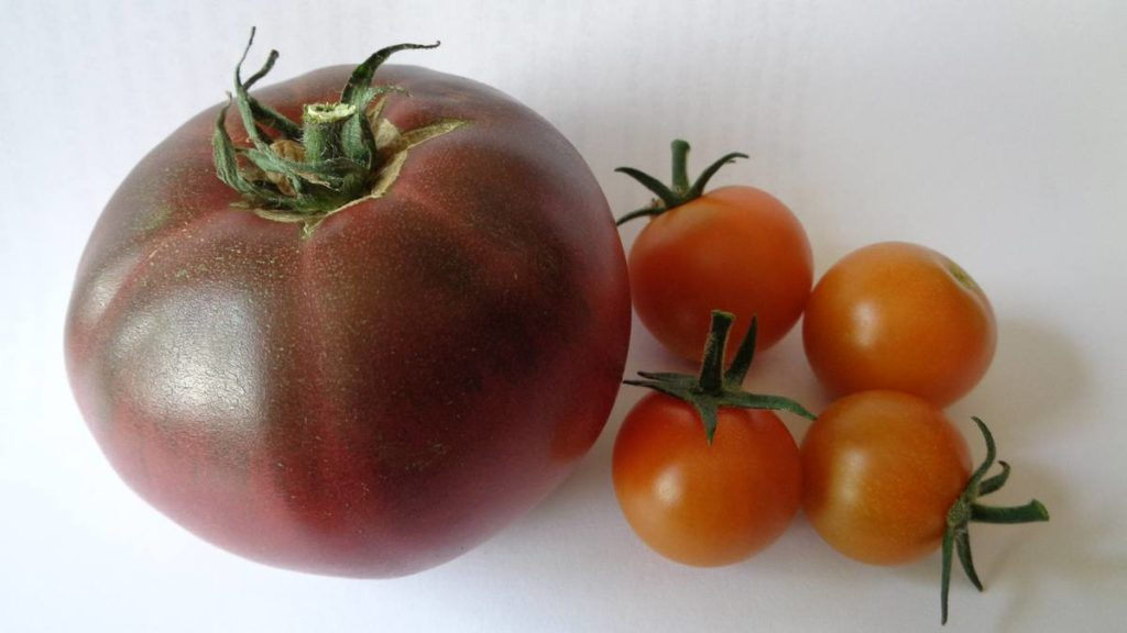 Black Russian Sungold Tomatoes