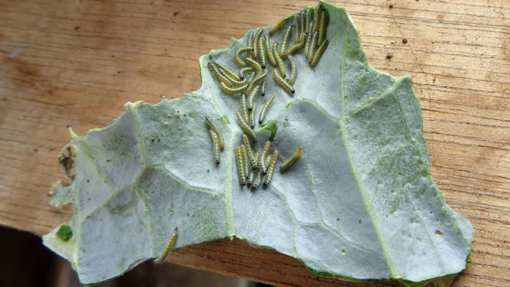 Caterpillars on Cabbage