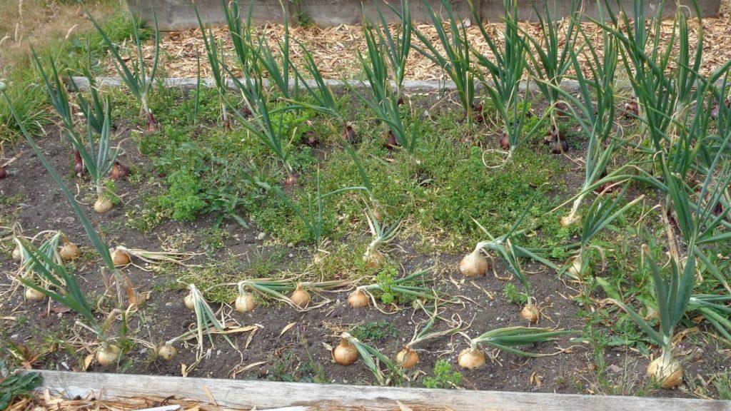 Onions Ready