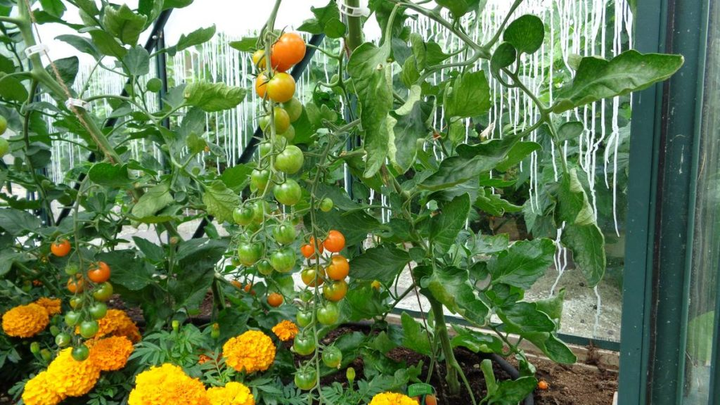 Sungold Tomatoes Marigolds