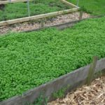Carrots Swamped Chickweed