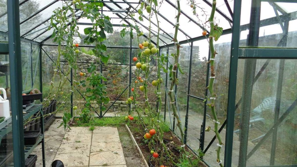 De-leafing Tomatoes