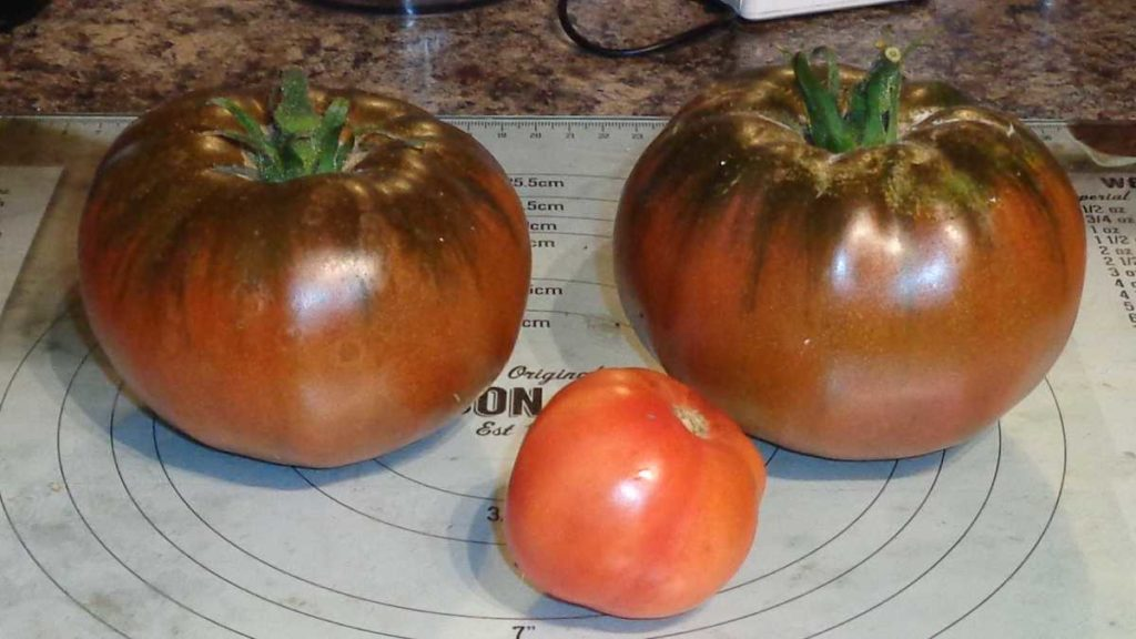 Large Black Russian Tomatoes
