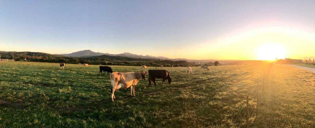 grazing ruminants