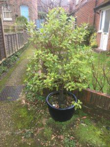 Bay Tree in a Pot