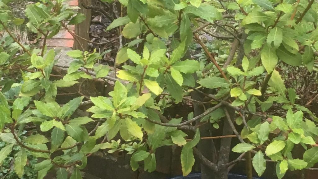 Bay Tree Yellowing Leaves