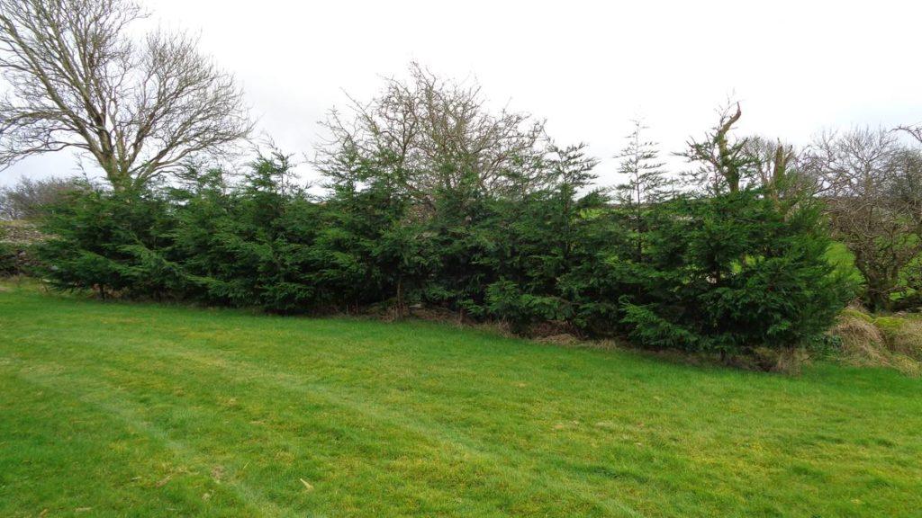 Leylandii Windbreak Hedge 2019