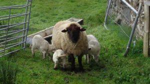 Texel Cross Ewe Triplets