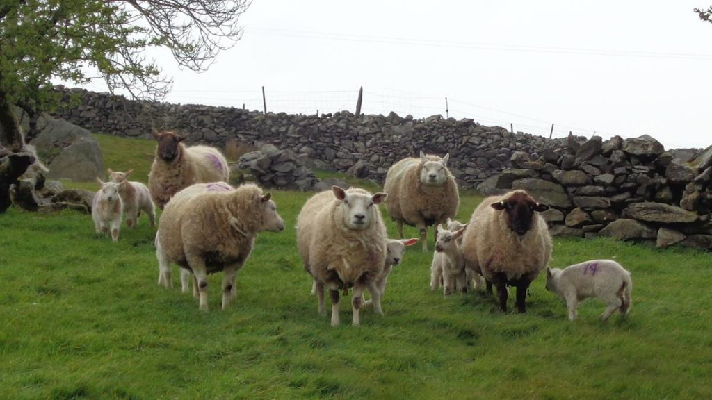 Texel Ewes & Lambs