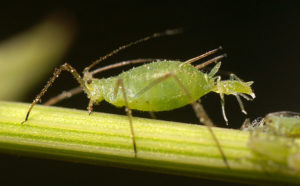 Aphid-giving-birth
