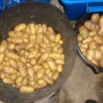 Charlotte & Arran Pilot Potatoes