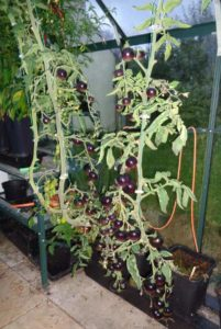 Indigo Rose Tomatoes