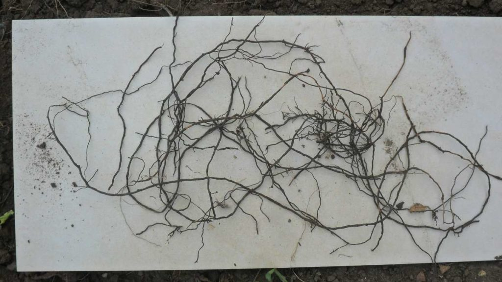 Mystery Weed Roots 1