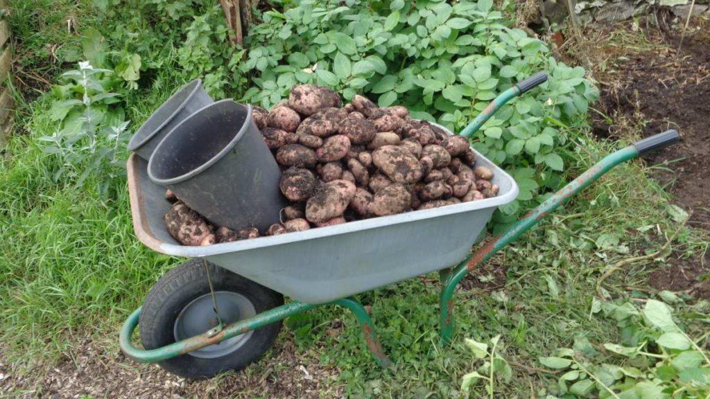 Harvesting Sarpo Mira Potatoes
