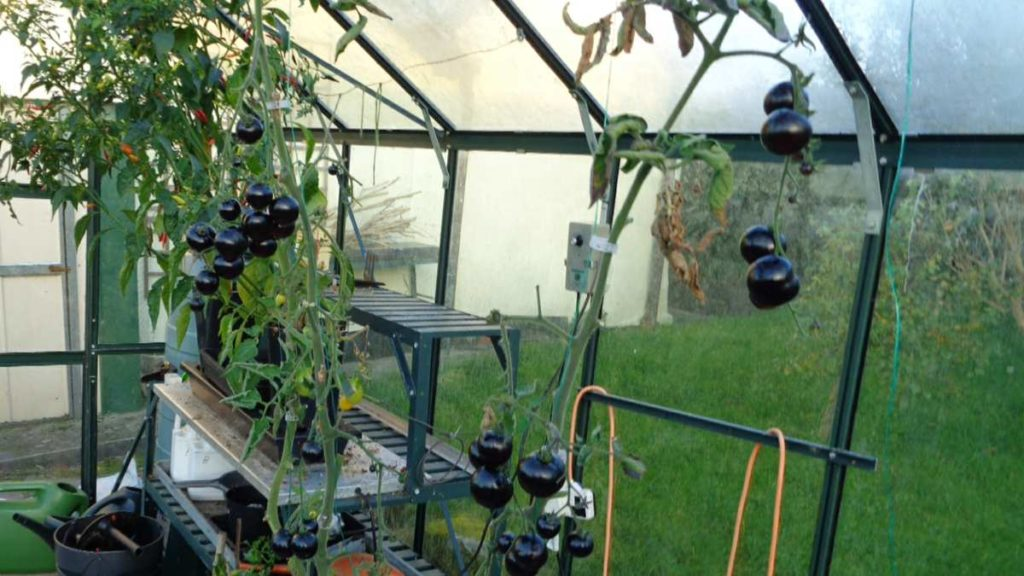 Indigo Rose Tomatoes