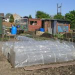 Sweetcorn Under Cloches in April