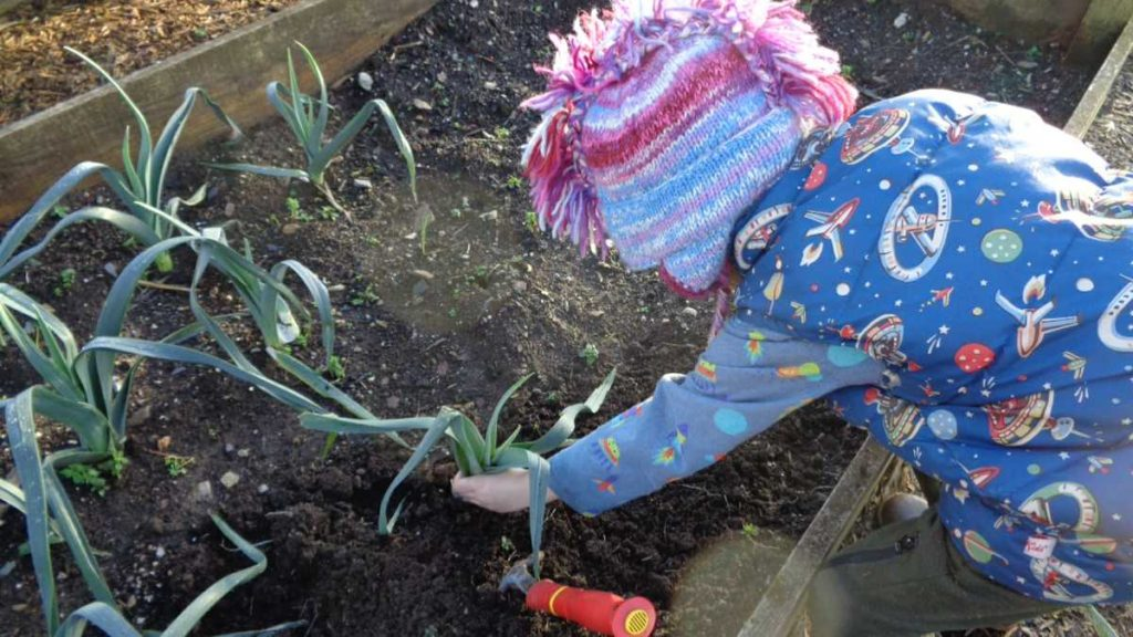 Grandson Harvesting Leeks