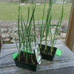 Leek Plants
