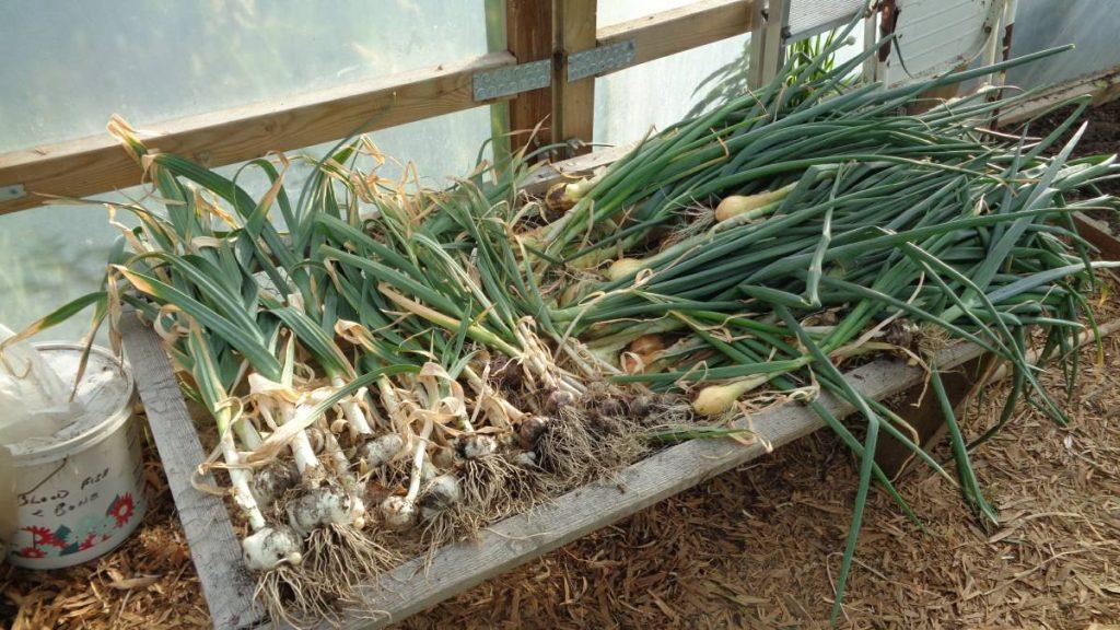Onions, Garlic and Elephant Garlic