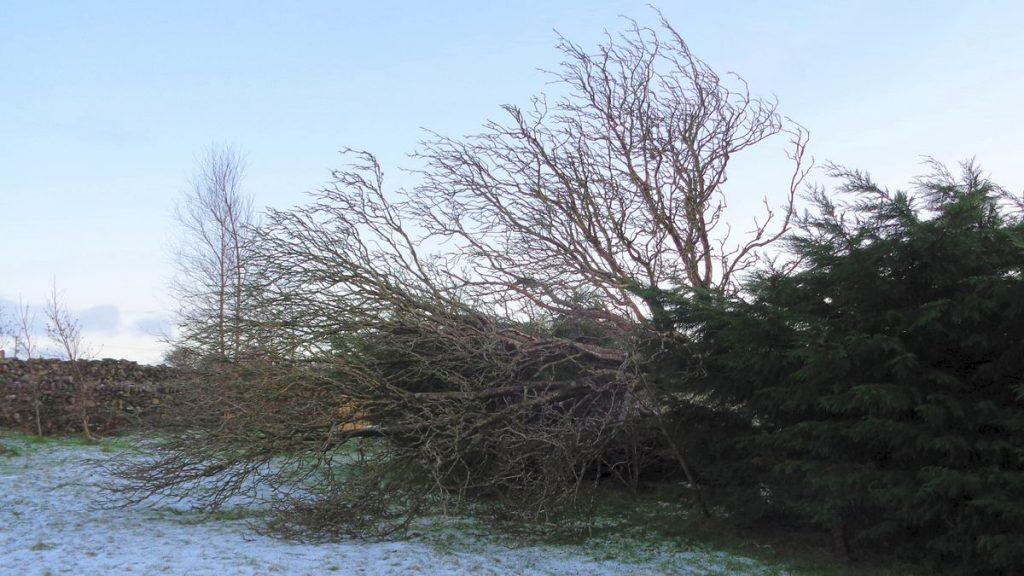 Fallen Rowan Tree