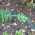 Spring is Near, Garlic, Shallots & Good News