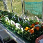 Flower Invasion, Brassicas, Rabbits, Pepper Disaster